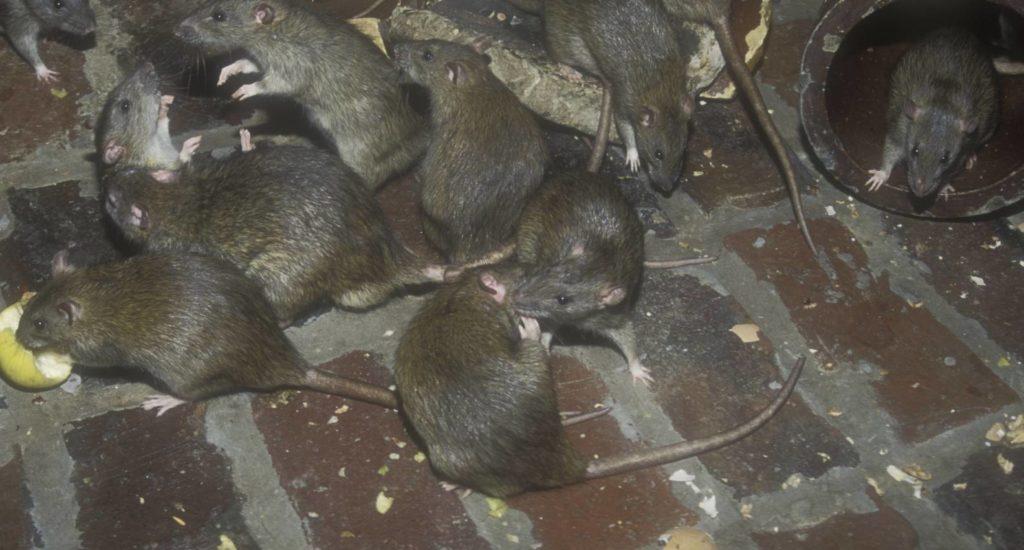 уничтожение крыс в Киришах